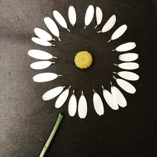 I just think this is a cool photo of a dissected oxeye daisy (invasive in these parts).