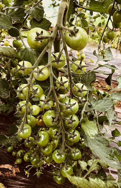 The tomato plants are heavy with tendrils of fruit ready to ripen.