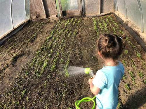 "Opal helps water our late spinach in the ""bean house""...sowed after beans were removed.  It takes about twice as long to do these simple tasks with her eager help!"