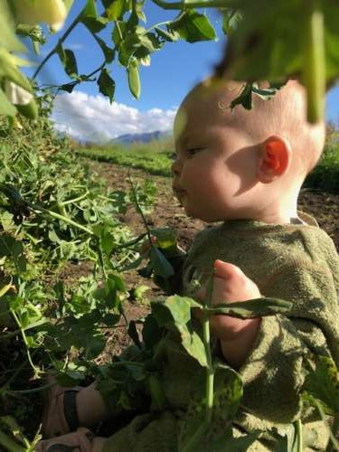 Fern tastes pea tendrils while I collect the remaining peas