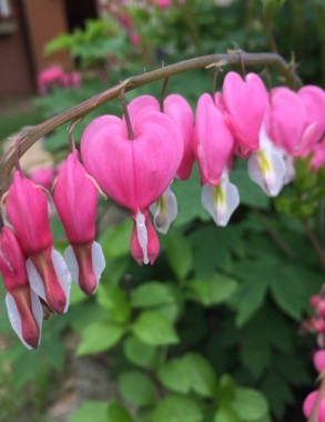 My pink Bleeding hearts will be one of the first blooms to appear in my yard.