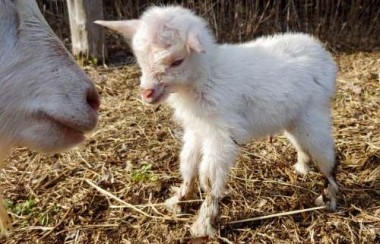 My friend Donna just had babies born on her farm. Look at those pink ears!