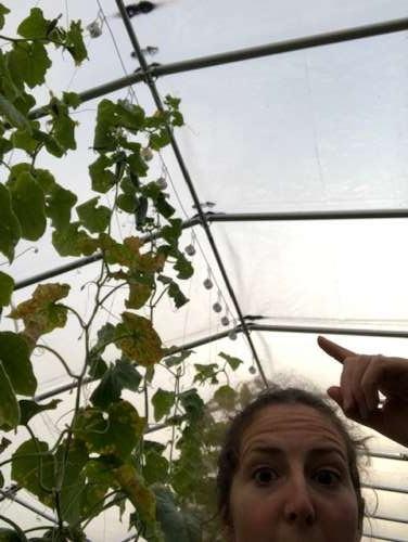 thirteen foot tall cucumber vines!