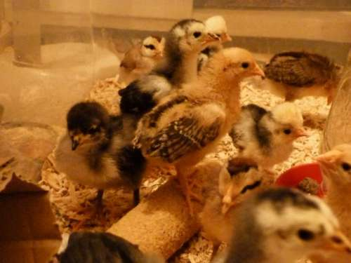 chickens9