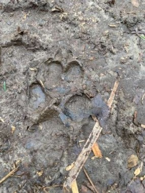 We often hear coyotes yip and howl, like they feel our collective loneliness.  This fresh print was found right after an early morning rain.