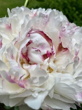 The peonies loved our cool spring.