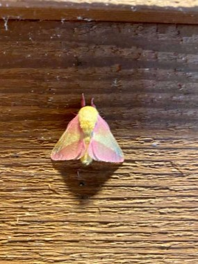 I love the summery color of the Rosy Maple Moth!