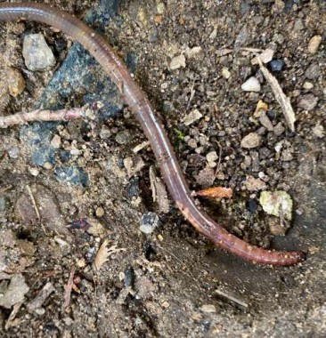 "An example of a ""good"" earthworm...notice the raised saddle. He moved slowly by ""inching"" along as opposed to slithering."