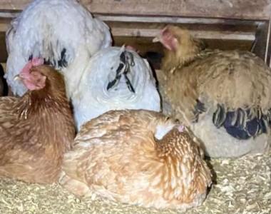 Warm, sleepy chicken pile