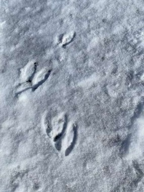 We never know what tracks we will see in the snow.