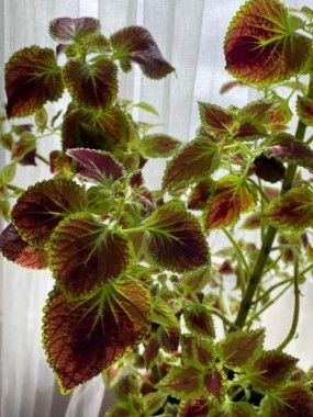 This Coleus was so pretty last summer. I have repotted it and soon it will go back outside for another summer.