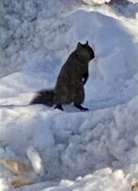 """The squirrel who lives in our yard that we refer to as """"Smoke Puff"""" looks like he has had enough of snow!"""
