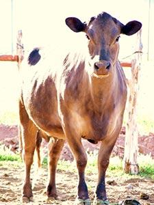 Evelynn...the loverly milk cow
