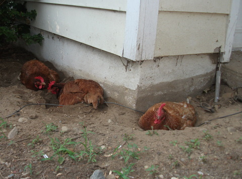 the hens decide to take a dirt bath near the house